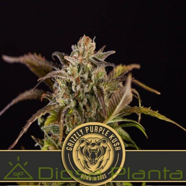 Grizzly Purple Kush (Blimburn Seeds)
