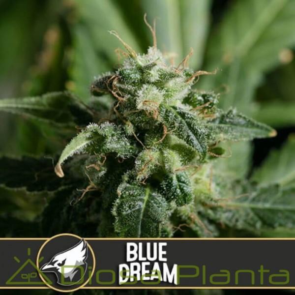 Blue Dream (Blimburn Seeds)