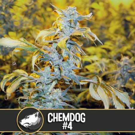 Chemdog 4 (Blimburn Seeds)