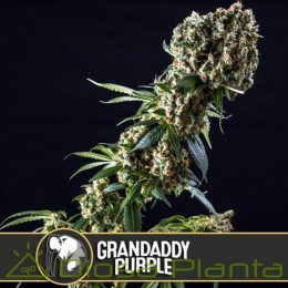 Grandaddy Purple (Blimburn Seeds)