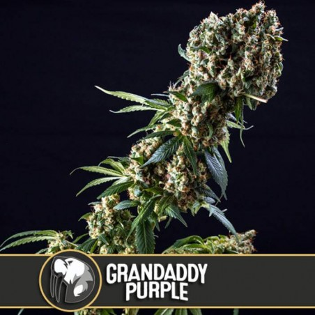 Grandaddy Purple (Blimburn Seeds)