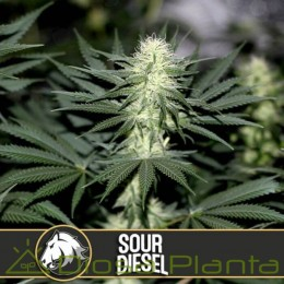 Sour Diesel (Blimburn Seeds)