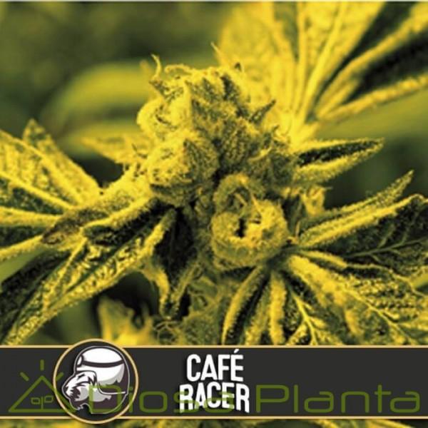 Café Racer (Blimburn Seeds)
