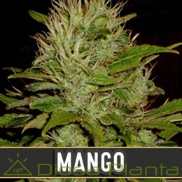 Mango (Blimburn Seeds)