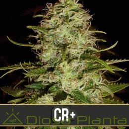 CR+ (Blimburn Seeds)