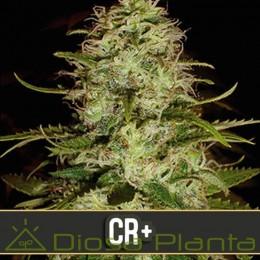 CR+ (Blimburn Seeds)