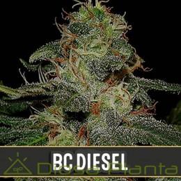 BC Diesel (Blimburn Seeds)