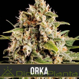 Orka (Blimburn Seeds)