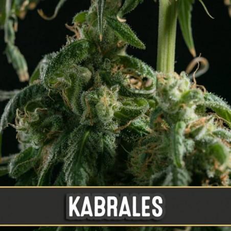 Kabrales (Blimburn Seeds)