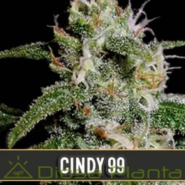 Cindy 99 (Blimburn Seeds)
