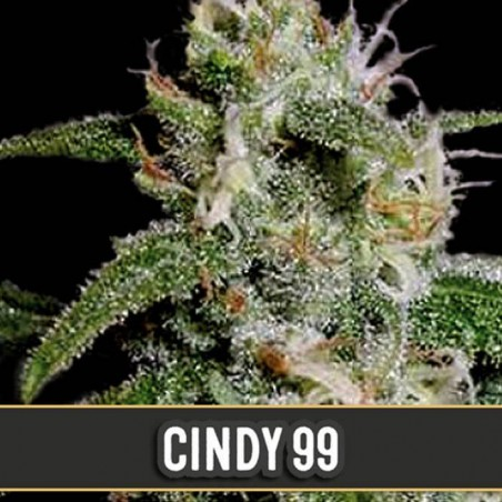 Cindy 99 (Blimburn Seeds)