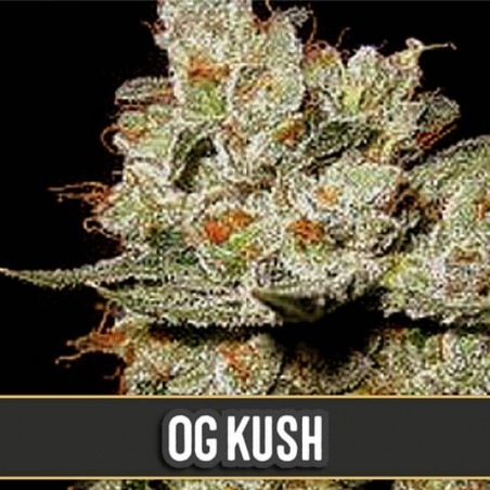 OG Kush (Blimburn Seeds)