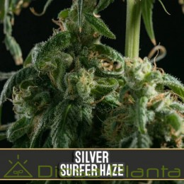 Silver Surfer Haze (Blimburn Seeds)