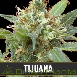 Tijuana (Blimburn Seeds)