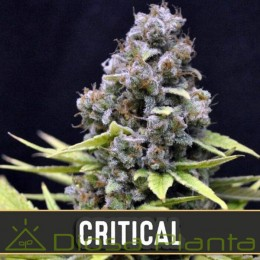 Critical Auto (Blimburn Seeds)