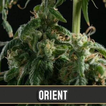 Orient Auto (Blimburn Seeds)