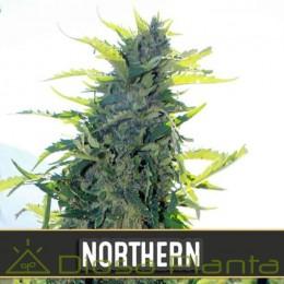 Northern Auto (Blimburn Seeds)