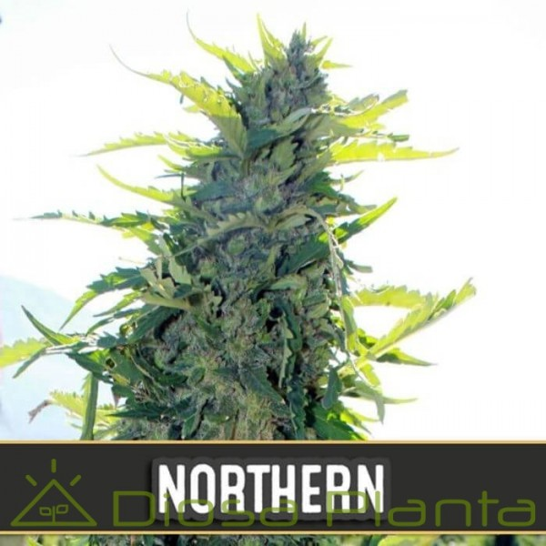 Northern Auto (Blimburn Seeds)