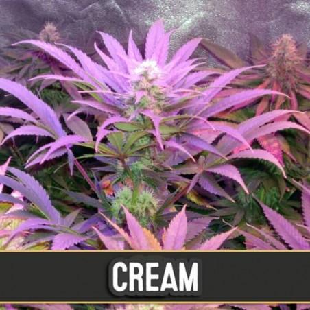 Cream Auto (Blimburn Seeds)