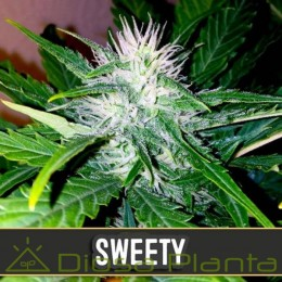 Sweety Auto (Blimburn Seeds)