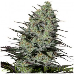 Morpheus (Buddha Seeds)