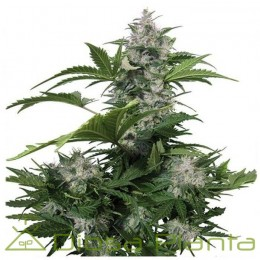 White Dwarf Auto Regular (Buddha Seeds)