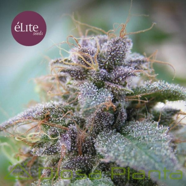 Blue Elite Índica (Elite Seeds)
