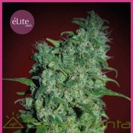 Llimonet Haze Clásica THC (Elite Seeds)