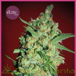 Banana Joint (Elite Seeds)