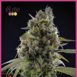 Solodiol Clásica CBD (Elite Seeds)