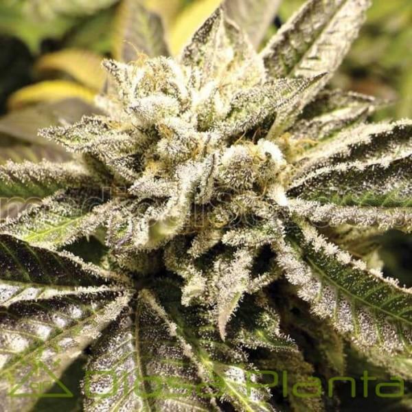 Canadian Kush 2.0 (Medical Seeds)