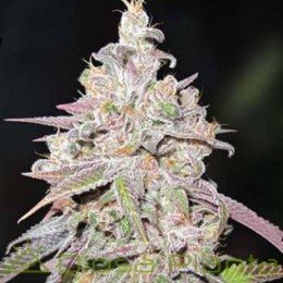 Mendocino Chanel Kush (Medical Seeds)