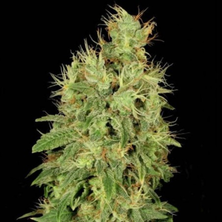 Chronic CBD (Serious Seeds)