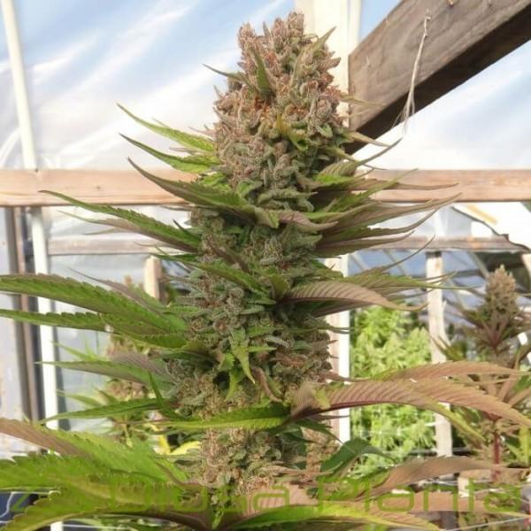 Purple Satellite Regular (Ace Seeds)
