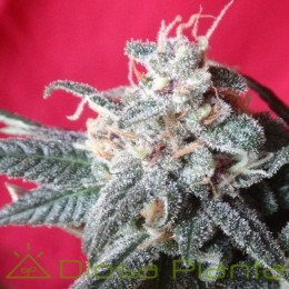 Snow Moon Feminizada (Ace Seeds)