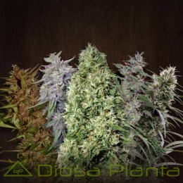ACE Mix Feminizada (Ace Seeds)