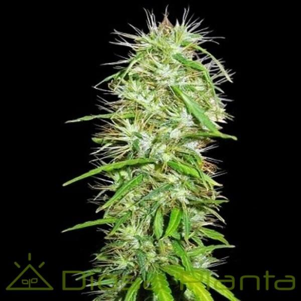 Mauricio x Etíope Regular (Ace Seeds)