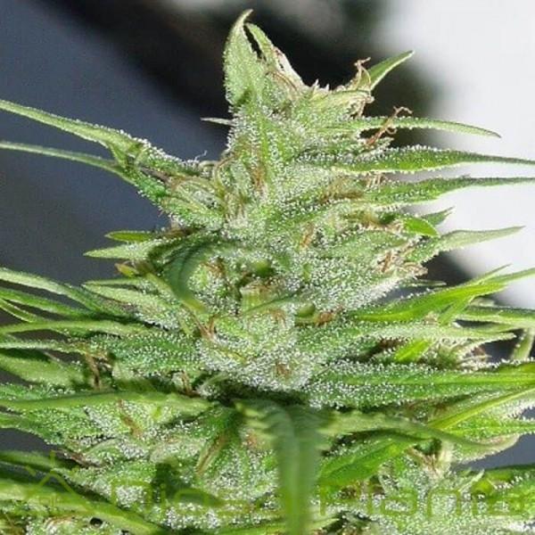 Guawi Feminizada (Ace Seeds)