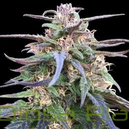 Zamal Bliss Feminizada (Ace Seeds)