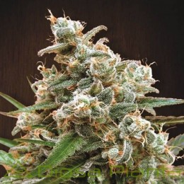 Nepal Jam Regular (Ace Seeds)