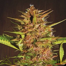 Pakistan Chitral Kush Pack Cría Regular (Ace Seeds)