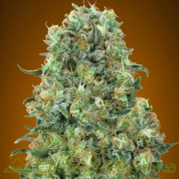 Critical Mass (Advanced Seeds)