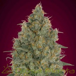 Strawberry Gum (Advanced Seeds)
