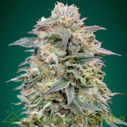 Shark Widow CBD (Advanced Seeds)