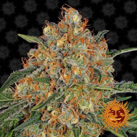 Orange Sherbert (Barney´s Farm)