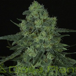 Criminal (Ripper Seeds)