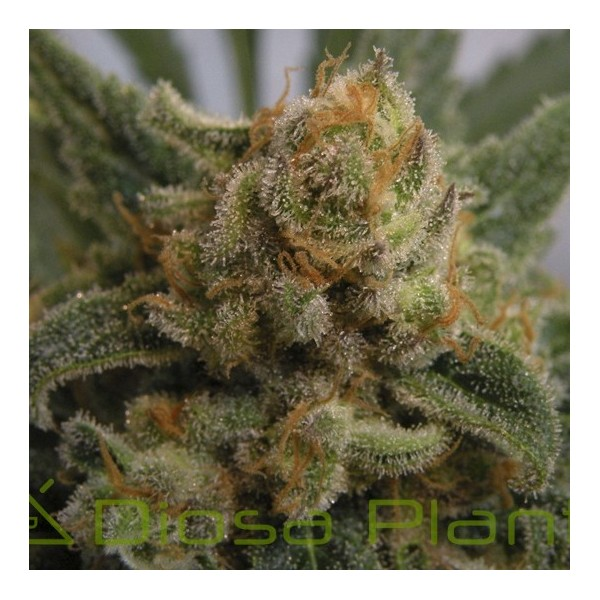 Grapegum (Ripper Seeds)