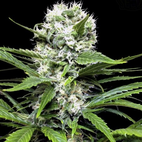 Lemon Ice (Ripper Seeds)