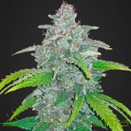Blue Dream'matic (Fast Buds)