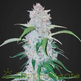Six Shooter Auto (Fast Buds)
